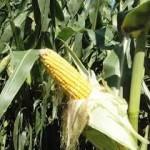 00957_corn